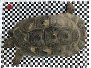 RESERVIERT Breitrandschildkröte Marginata Pärchen adult