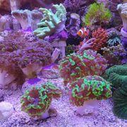 Korallen Euphyllia Weichkorallen Anemonenfische Meerwasseraquarium