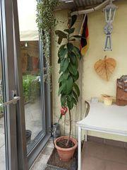 Gummibaum-Säule ca 2 m