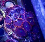 Meerwasser Krustenanemone Zoanthus sp