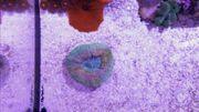 Scolymia Rainbow Scoly Meerwasser Lps