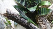 Martinique Anolis Anolis roquet summus