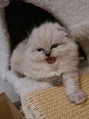 Scottish-Fold Kittis