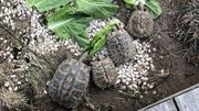 Griechische Landschildkröten Gruppe