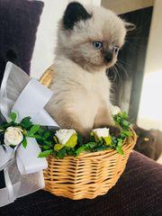 reinrassige BKH Kitten Katze Kater