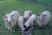 Verkaufe Schaflämmer