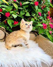 Bkh Kitten in verschiedenen Farben