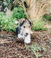 FoxTerrier Fox Terrier Welpen abgabebereit