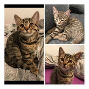 3 Bengal BKH Mix Kitten