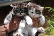 süße Sibirische Waldkatzen Kater