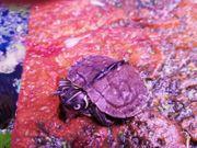 Ouachita Höckerschildkröte lat Graptemys ouachitensis