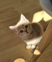 Wunderschönes BKH Kitten