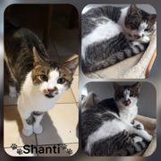 Katze Shanti 5 Jahre kastriert