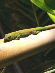 Madagaskar Taggecko Phelsumen sucht zuhause