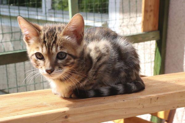 Bengal Katzen Kitten