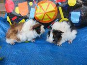 Zahme Meerschweinchen Kombis aus 3-farbigen