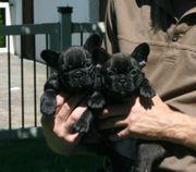 Schöne Französischen Bulldogge Welpen