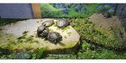 Europäische Sumpfschildkröten von 2020 Emys