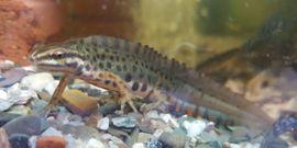 Reptilien, Terraristik - Teichmolch Lissotriton Triturus vulgaris aus