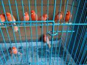 Kanarienvögel rot