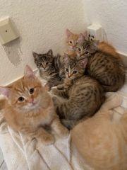 Perser europäisch kurzhaar verschmuste Kitten