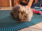 Kaninchen Teddyzwerg