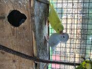 Wellensittiche Vögel Sittiche Papagei