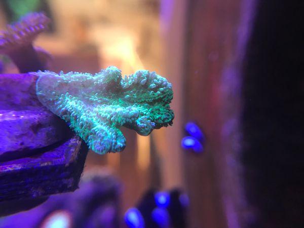 Korallen Ableger ab 10EUR