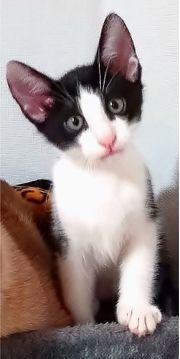 Siam-Mix Kätzchen