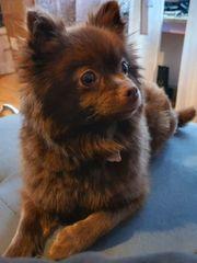 Zwergspitz Pomeranian Hündin sucht ein