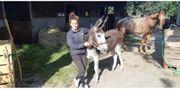 Grauer Esel Wallach zu verkaufen
