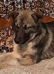 Ziklja - Anhänglicher Miniwolf sucht warmes