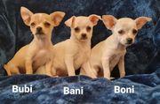 Chihuahua Welpen LH und KH