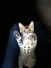 reinrassige bengalische Kätzchen
