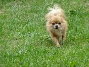 Chihuahua mini Rüde - 3 Jahre