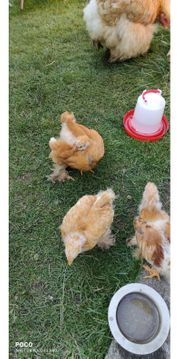 Hühner Cochin Küken