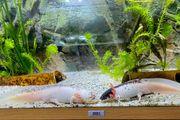 Axolotl Harlekin Nachwuchs