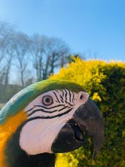 Papageien paar abzugeben