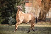Champagne Andalusier 2 Jahre pre