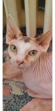 Sphynx Katze 2 j alt