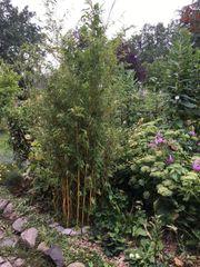 Gelber Bambus 2 50m im