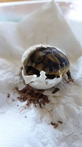 Reptilien, Terraristik - Nachzucht 2020 Griechische Landschildkröten