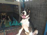 Griechischer Hirtenhund-Mischling Eddie