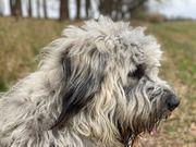 Griechischer Schäferhund Mix