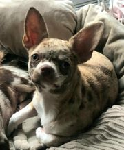 Chihuahua Welpe Hündin mit Papieren