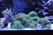 Korallen Ableger ab 5 Euro