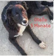 Otello Labrador-Mischling 6 Monate sucht