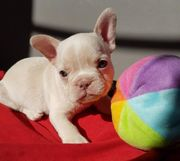 Gesunde Französische Bulldogge Rüde mit