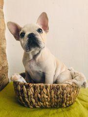 französische Bulldogge in Creme