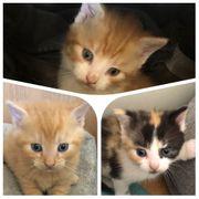 Maine Coon Mix Kitten abzugeben